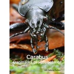 Carabus - Danmarks pragtløbebiller