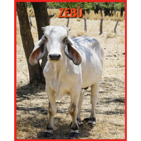 Zebu: Fatti divertenti e foto incredibili degli animali nella natura